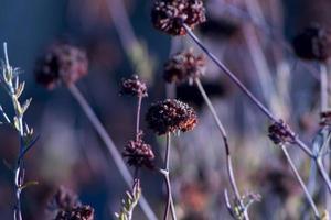 noite de trigo sarraceno foto