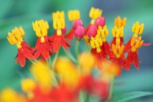 flor de asclepias foto