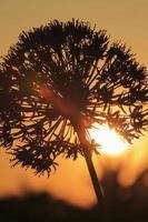 flor de allium retroiluminada pelo sol poente