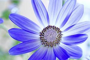 flor de senetti pericallis foto