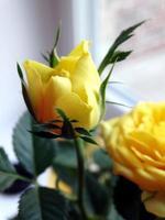 mini botão de rosa amarelo foto