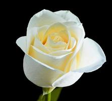 rosa branca em plena floração contra fundo preto foto