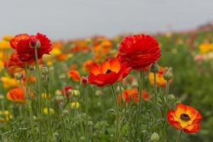 flor de ranúnculo foto