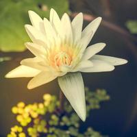 flor de lotos foto