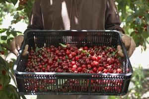 homem carregando cesta cheia de cerejas frescas foto