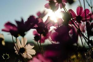 flor de cosmos foto