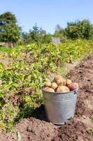 primeira colheita de batatas novas cultivadas organicamente foto