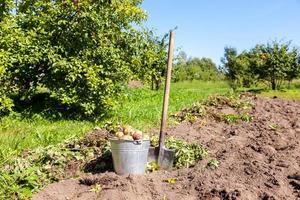 primeira colheita de batatas novas cultivadas organicamente em dia de sol foto