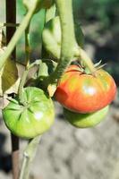 alguns tomates no mato no jardim foto