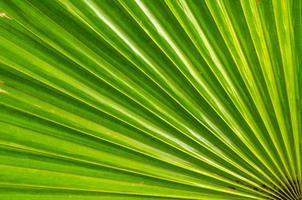 folha de palmeira de açúcar foto