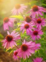 echinacea flores foto