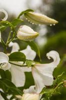 flores de lírio foto