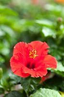 flores de hibisco foto