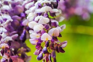 flores de glicina foto