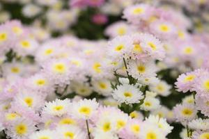 crisântemos flores foto