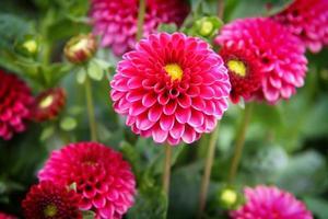 flores cor de rosa foto