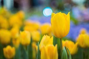 flor tulipa foto