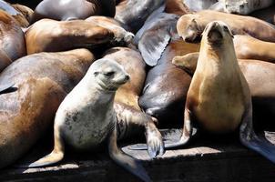 leões marinhos foto
