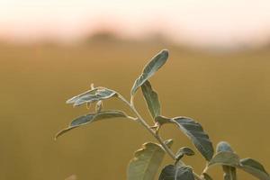 plantar. foto