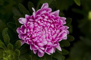 ásteres de flores. foto