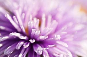 flor lilás foto