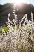 flores de lavanda foto