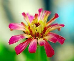 flor de zínia foto
