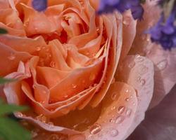 austin laranja fresco rosa crescendo no jardim foto