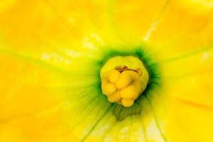flor de abobrinha foto