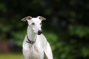 cão adorável whippet posando ao ar livre foto