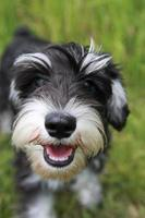 filhote de cachorro schnauzer sorridente foto