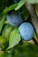 culturas de ameixa na árvore foto