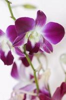 galho de orquídea roxa foto