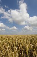 nuvens no céu azul sobre o campo de trigo