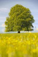 única árvore de faia na primavera