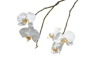orquídea branca foto