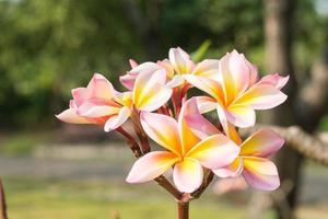 plumeria. inflorescência rosa linda foto