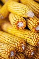 grãos de milho maduro foto