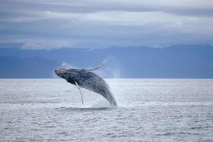uma baleia saltando acima do oceano foto