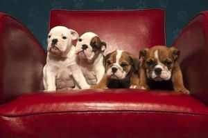 quatro filhotes de buldogue atrevidos em uma cadeira vermelha foto
