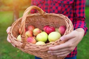 mulher colhendo maçãs foto
