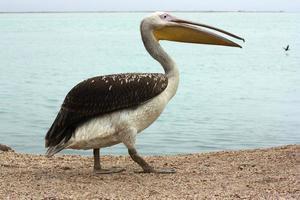 pelicano na orla marítima de walvis bay na namíbia foto