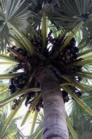 palmeira asiática foto