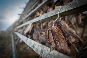 cabeças de bacalhau