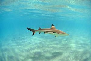 tubarão de recife de ponta negra havaiano foto