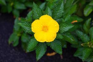 flor amarela de havaí foto