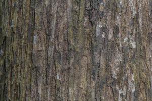 textura da casca de árvore textura de madeira / fundo de textura de madeira foto