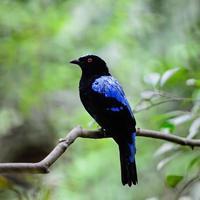 pássaro azul asiático de fadas foto