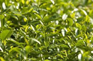 árvore de chá oolong asiático