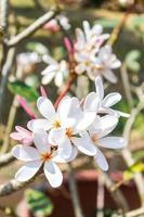 flor de frangipanis foto
